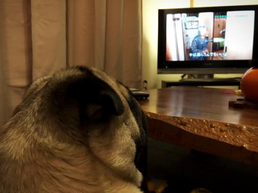 Resultado de imagen para Pug  犬 テレビを見る